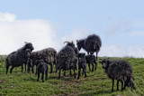 Ardalanish Hebridean Black sheep
