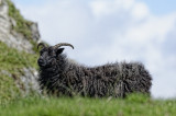 Hebridean Black ewe