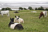 cattle by Morecambe bay