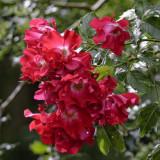 roses half way back to wild