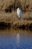 A pretty Little Egret