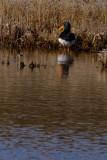 Oystercatcher