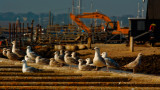 Herring Gull mob, stationary