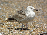 young herring gull posing