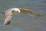 flight of the young herring gull