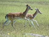 Bradgate Park - home of dozens of fallow deer