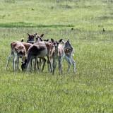Bradgate Park fallow deer studies - 6
