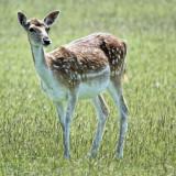 Fallow Deer studies - 5