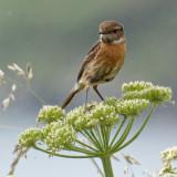Stonehatch fledgling (I think)