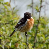 Stonechat on guard