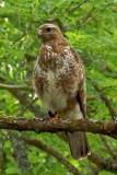 Buzzard juvenile (Buteo buteo)
