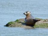 same seal after a swim