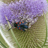 Spotted Burnet moth tidying a teasel