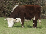 beasts of the field - click for sheep, cattle, pigs, horses & wild