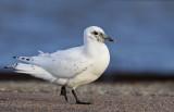 Ivory Gull (Ismås) Pagophila eburnea - CP4P8394.jpg
