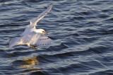 Ivory Gull (Ismås) Pagophila eburnia - CP4P8767.jpg