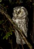 Tengmalm's Owl ( Pärluggla ) Aegolius funereus - IMG_5547.jpg