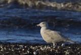 Glaucous Gull ( Vittrut ) Larus hyperboreus  - CP4P1578.jpg