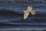 Glaucous Gull ( Vittrut ) Larus hyperboreus - CP4P1597.jpg