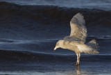 Glaucous Gull ( Vittrut ) Larus hyperboreus - CP4P1600.jpg