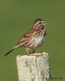 Bruant chanteur / Song Sparrow     IMG_9909