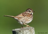 Bruant chanteur / Song Sparrow  IMG_9854