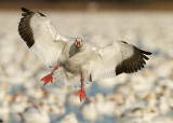 Oie des neiges / Snow Goose  And Bernache du Canada / Canada Gosse