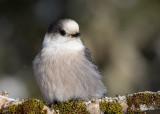 Oiseaux du Québec / Birds of Québec