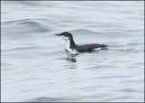 Pelagic Trip from Half Moon Bay, July 2013