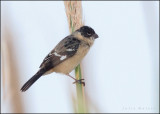 White-collared Seedeater