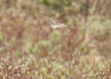 Common Snipe