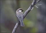 Gray-headed Chickadee