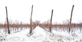 Vineyards during winter
