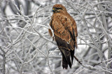 Buzzard- NOT FROM ZOO