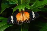 Leopard Lacewing @Butterfly Wonderland