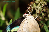 I believe this is an African Blue Banded Swallowtail @ Butterfly Wonderland
