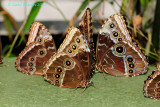 Morpho Convention @Butterfly Wonderland