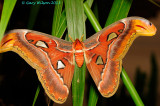 Atlas Moth @Butterfly Wonderland