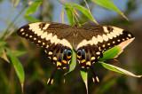 Emperor Swallowtail @ Butterfly Wonderland