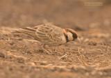 Bruinkap-vinkleeuwerik - Fischer's Sparrow-Lark - Eremopterix leucopareia