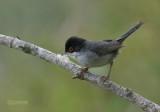 Sylviid Warblers