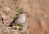 Grauwe Vliegenvanger - Mediterranean Flycatcher - Musicapa tyrrhenica ssp balearcia