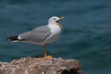 Geelpootmeeuw - Yellowlegged gull - Larus michahellis
