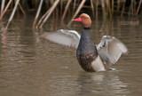 Krooneend - Red-crested Pochard - Netta rufina
