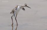 Steltkluut - Blackwinged stilt - Himantopus Homantopus