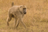 Gele Baviaan - Yellow Baboon - Papio cynocephalus