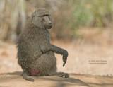 Olijf Baviaan - Olive Baboon - Papio anubis