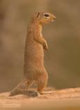 Afrikaanse Grondeekhoorn - Unstriped Ground Squirrel - Xerus rutilus