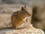 Kleine chipmunk - Least chipmunk - Tamias minimus