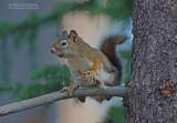 Amerikaanse rode eekhoorn - American Red Squirrel - Tamiasciurus hudsonicus